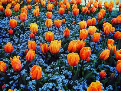 ... цветов — одна из самых благородных: venskayadacha.com/nezabudka-v-dizajne