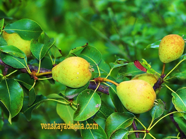 Плодовый сад в августе груша
