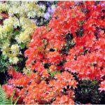 Виды и сорта рододендронов