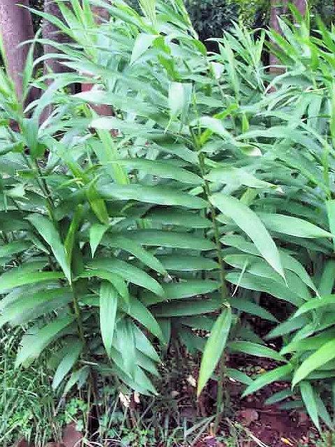 как выглядит растение имбирь
