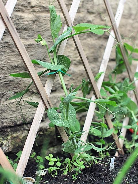 Выращивание и уход за горохом 479