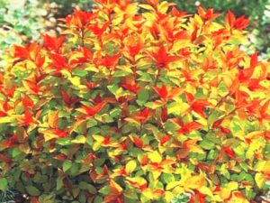 Летнецветущие спиреи
