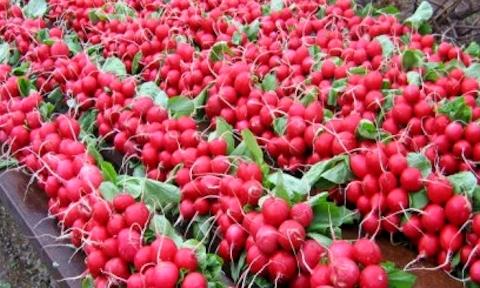 Уборка и хранение урожая осеннего редиса