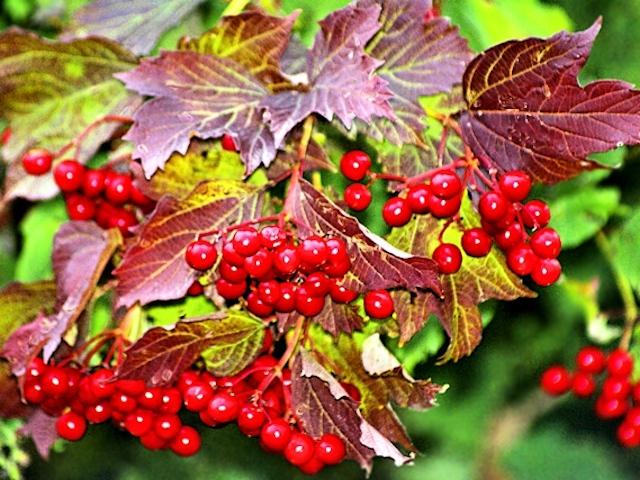 Осенние ягоды: калина