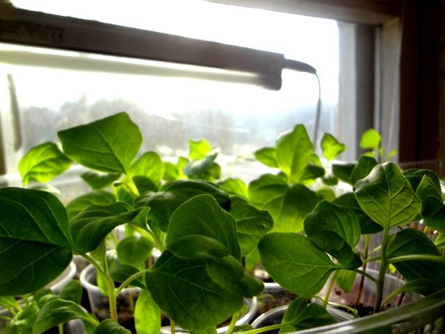 Выращивание баклажанов через рассаду