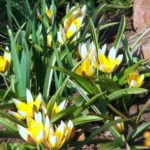 Карликовые тюльпаны