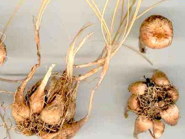 Посадка и размножение крокусов