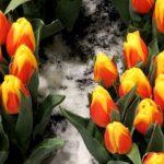 Низкорослые тюльпаны