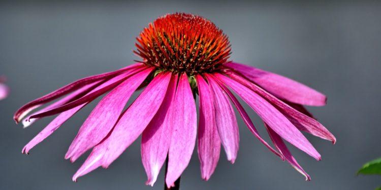 Эхинацея пурпурная - сорта