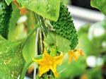 Огурец - растение