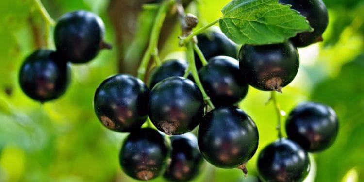Черная смородина - размножение