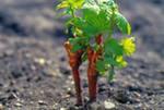 Работы виноградаря в марте