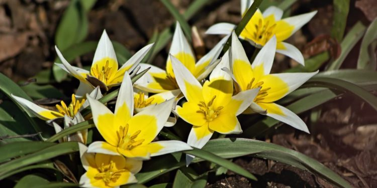 Цветник - работы в мае - тюльпаны