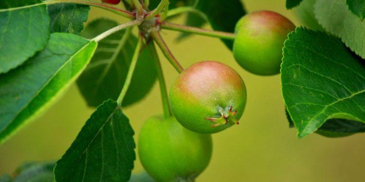 Июнь - работы в плодовом саду