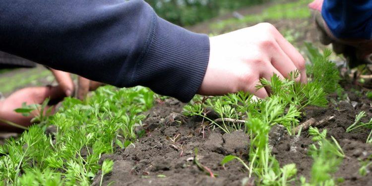 Морковь - уход за посевами