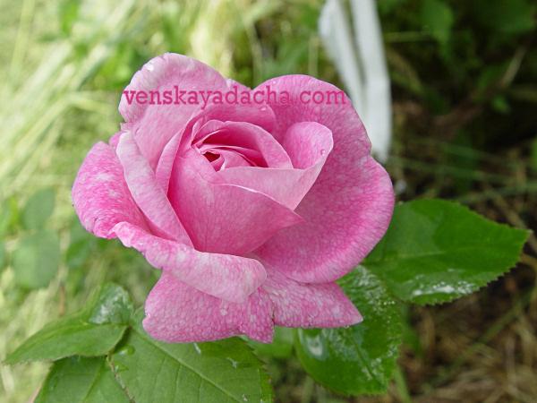 Как размножить розу