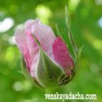 Роза в июне, борьба с вредителями