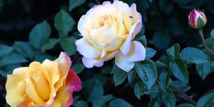 Розы - размножение черенками - июнь