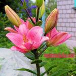 Цветы в июле на даче