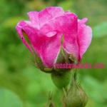 Розы - борьба с вредителями