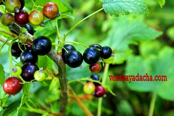 Ягодные кустарники: черная смородина