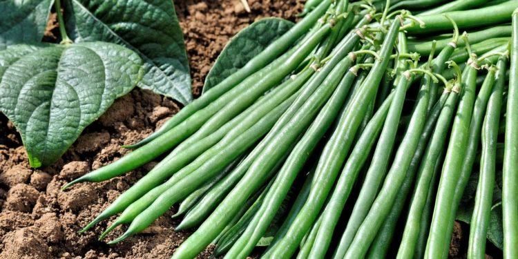 Как вырастить спаржевую фасоль