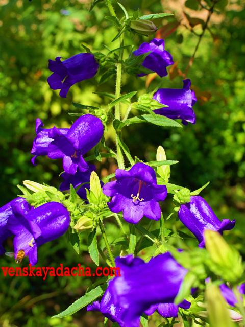 Цветы двулетники - колокольчик
