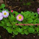 Цветы двулетники - маргаритки