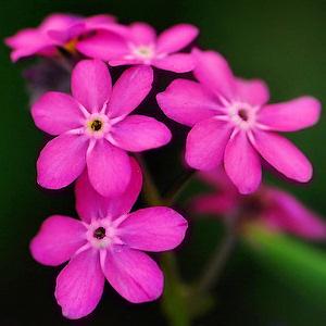 Незабудки цветы