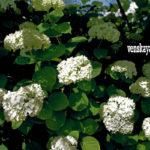 Декоративные кустарники - гортензия