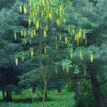 Декоративное растение - бобовник