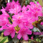 Декоративные кустарники - рододендрон