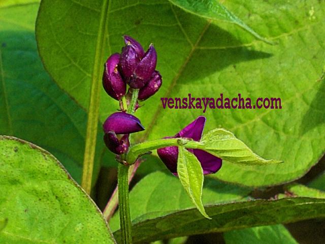 Фасоль спаржевая - растение