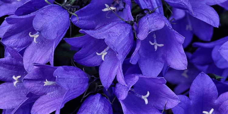 Цветок Колокольчик