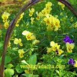 Двулетние цветы - виола (фиалка, анютины глазки)