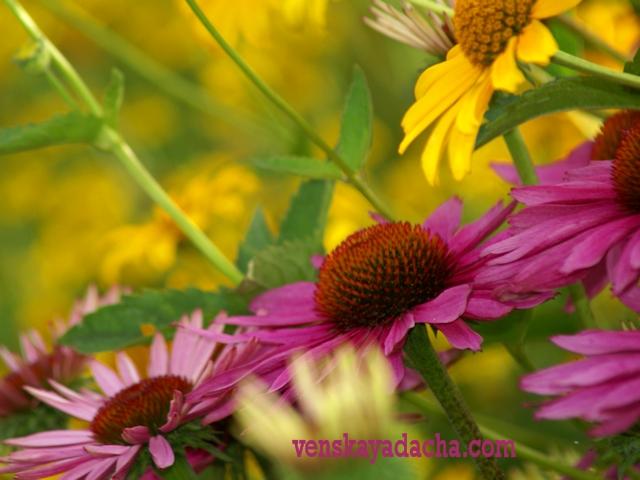 Цветы августа фото