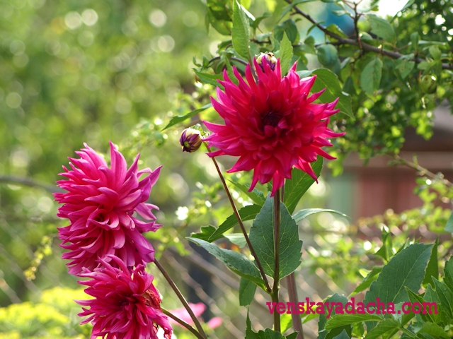 Георгины розовые