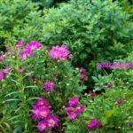 Хризантема фиолетовая немахровая