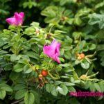 Куст шиповника: цветы и плоды