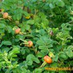 Шиповник - бурые плоды