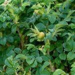 Шиповник белый - бурые плоды и семена