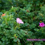 Шиповник бледно-розовый и розовый цветы и плоды