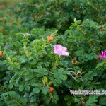 Шиповник бледно-розовый цветы и плоды