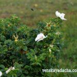 Куст белого шиповника