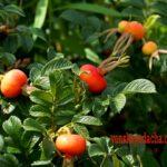 Шиповник - плоды