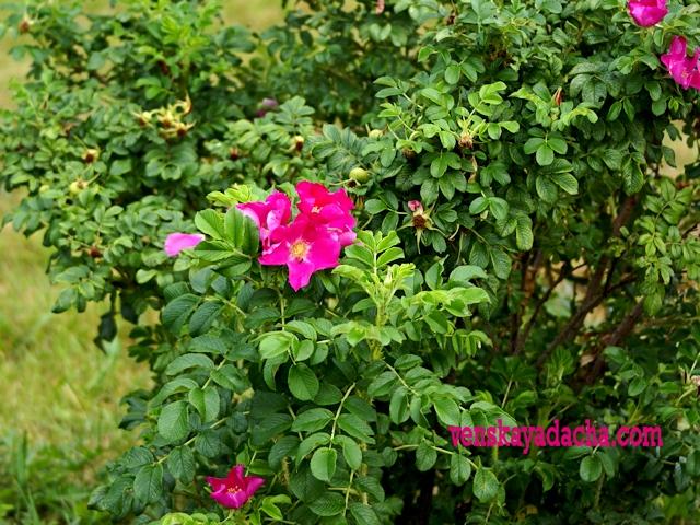 Шиповник - цветущий куст