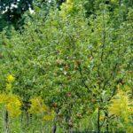 Плоды на молодой яблоне