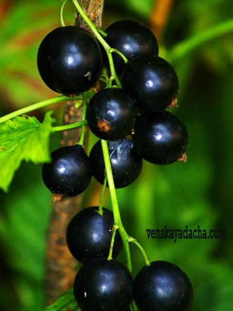 Черная смородина - сорта