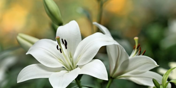 Лилии - размножение чешуйками луковиц