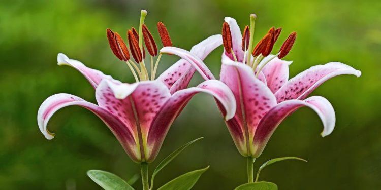 Лилии - размножение стеблевыми почколуковичками-бульбочками